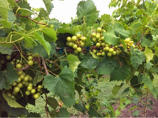 Muscadine Wine – A Taste of the Deep South